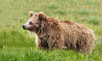Yetis are real, they just also happen to be Himalayan brown bears