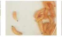 Genetically Modified Maggots Could Speed Up Wound Healing