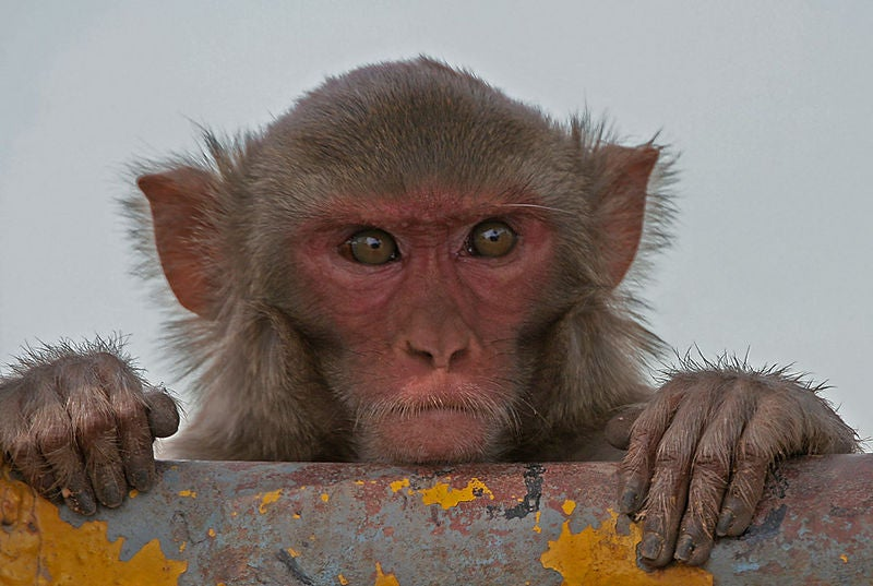 Monkeys Raised On Omega-3-Rich Diet Have Well-Structured Brains