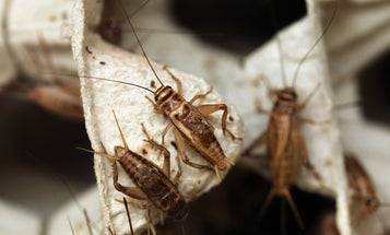 There's a zombie attack happening right now. It involves crickets.