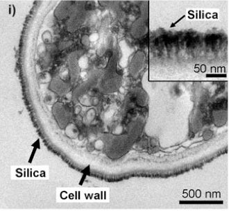 Yeast Cells Armored in Silica Could Herald Future Nanotech Experiments
