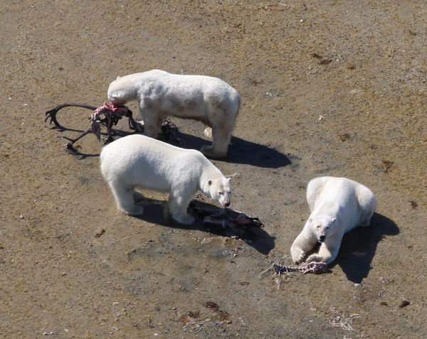 Polar Bears Might Survive Ice Melting By Hunting New Prey
