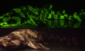 Sharks Glow, But Only For Each Other