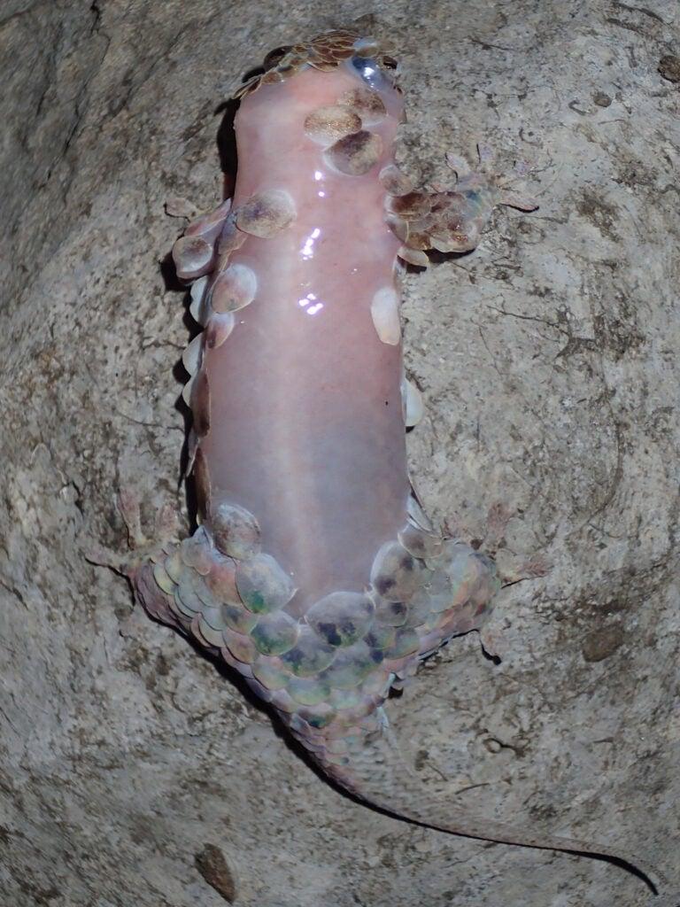 """*Geckolepis"