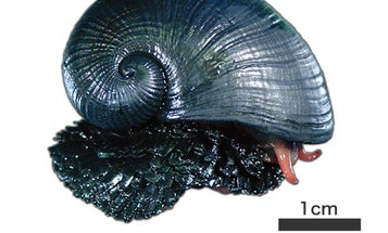 A New Kind of Body Armor, Courtesy of Bottom-Dwelling Snails