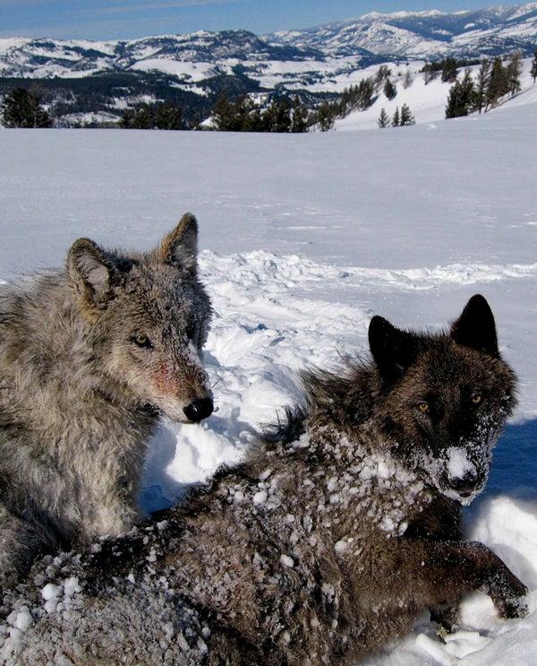 Operation: Dark Wolf