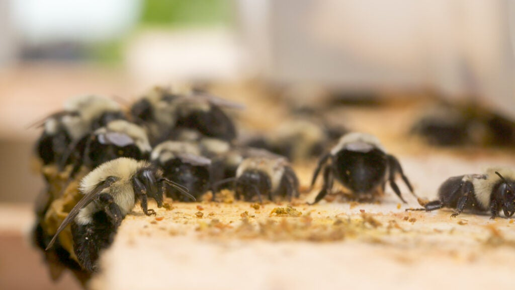 Bees carrying biopesticides