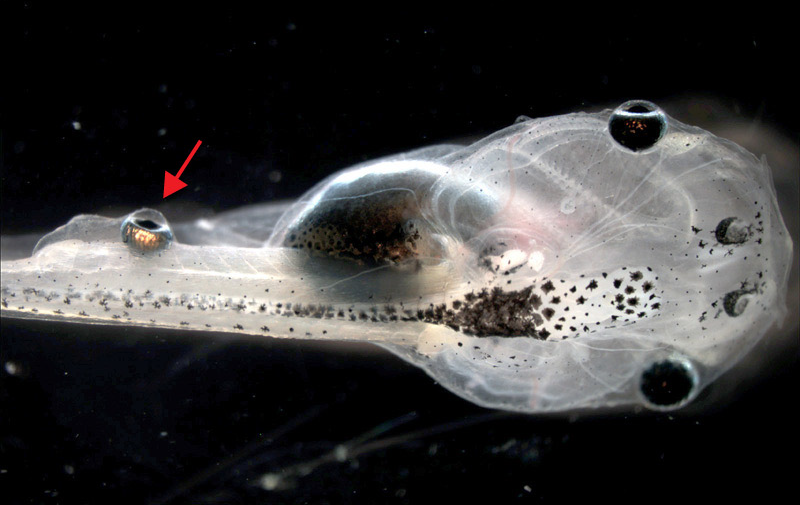Scientists Put A Working Eyeball On A Tadpole's Tail