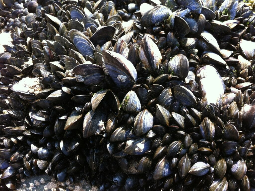 """""""mussels"""""""