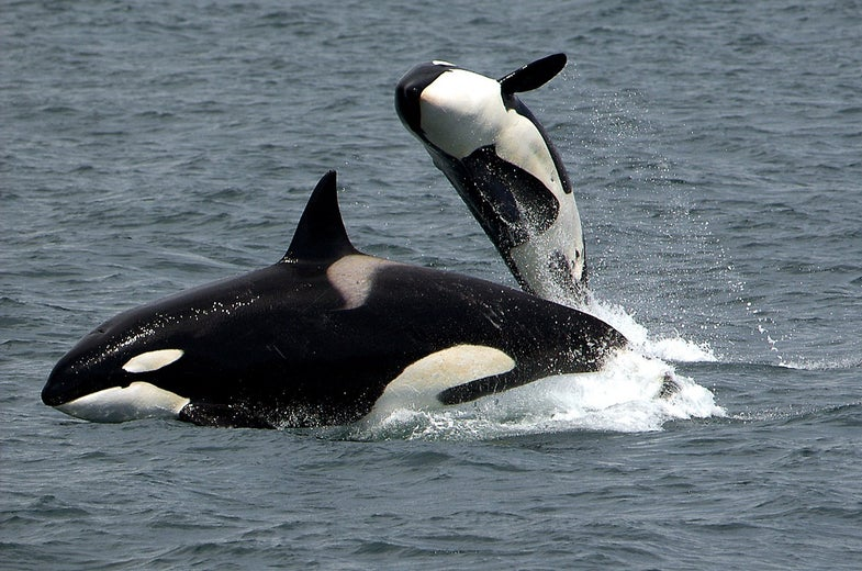 The toxins of our past still threaten the future of killer whales