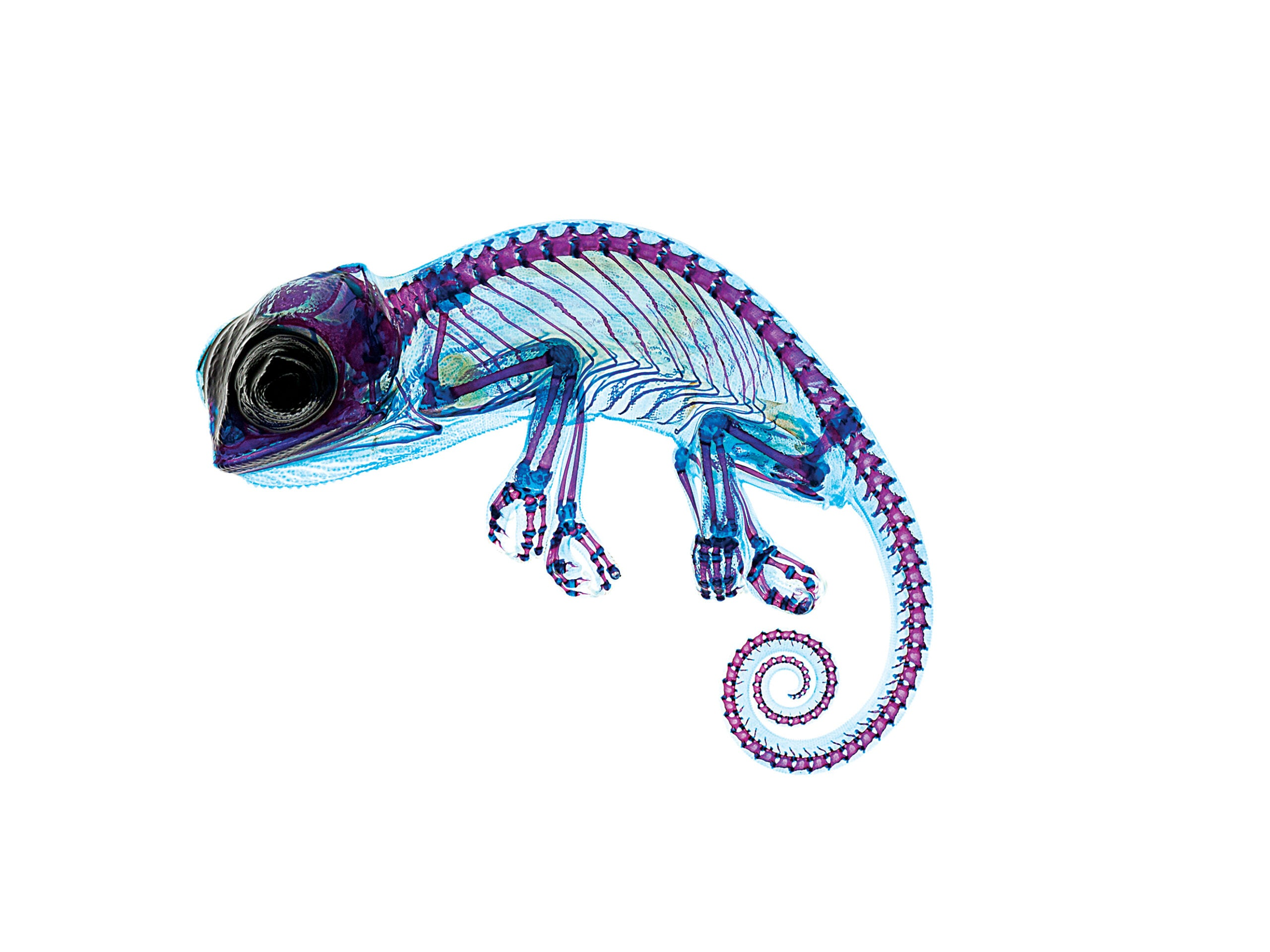 A Delicate Chameleon Displays Vivid Colors Under The Microscope