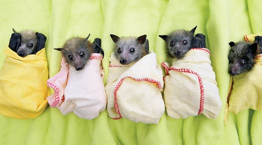 Bats Out of Hell: Rescue Efforts for Some of the Smallest Victims of Australia's Floods