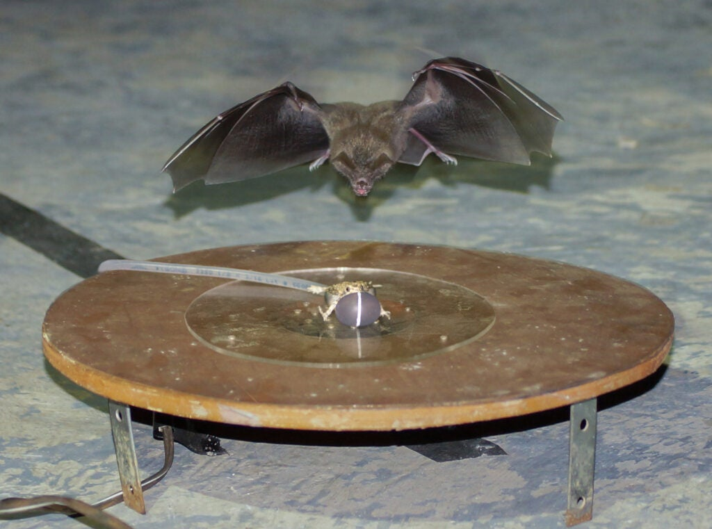 Bat attacking robotic frog