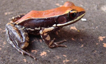 Frog mucus can fight off the flu