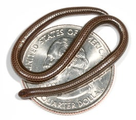 World's Smallest Snake