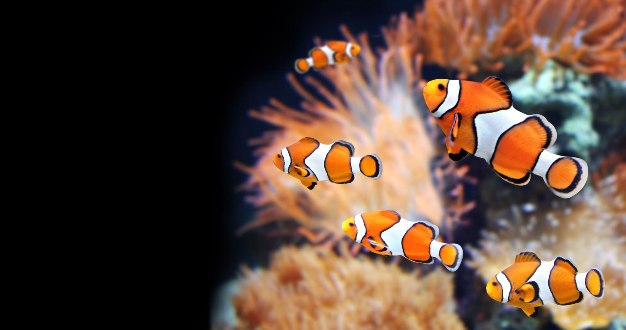 A clownfish can take on a shark, but this predicament may prove harder to handle