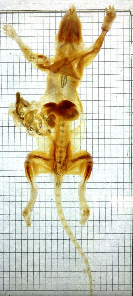 transparent rat