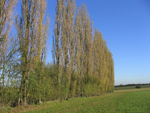 Poplar Science: Producing More Biomass from Genetically Beefed-Up Trees