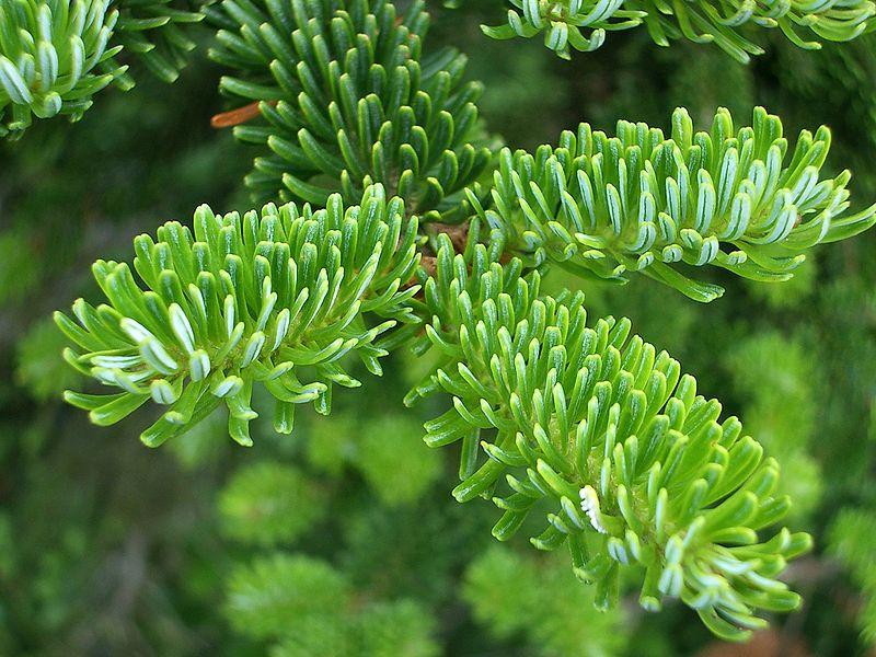 How Genetics Is Perfecting The Christmas Tree