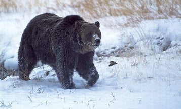 Scarface, Yellowstone's Most Famous Bear, Illegally Shot Dead