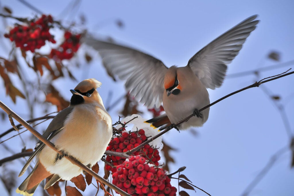 Two waxwing birds sit on a berry bush.
