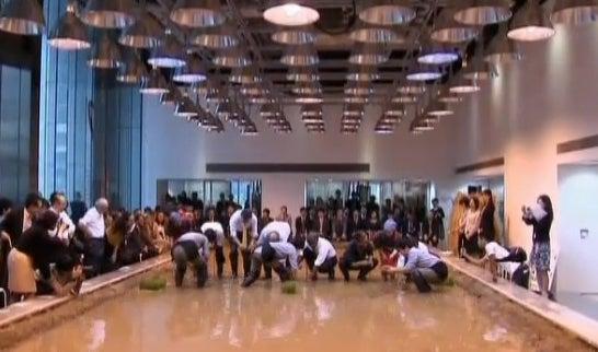 Office Rice Paddy Turns Tokyo Salarymen into Urban Farmers