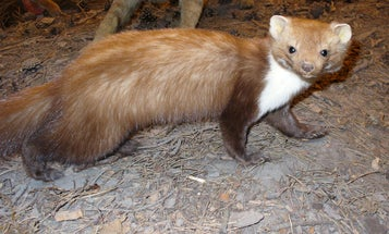 CERN Confirms: Large Hadron Collider Downed By Small Beech Marten