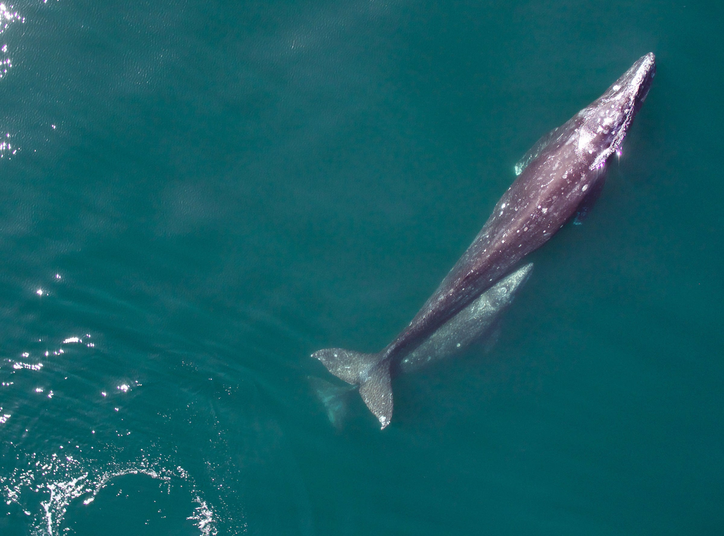 NOAA Is Using Drones To Track Migrating Gray Whales