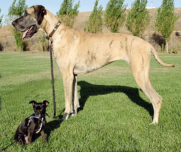 Great Danes have an average life span of 8 to 10 years.