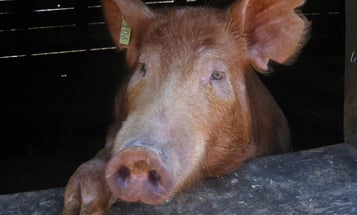 How Pigs on Antibiotics Are Making Superbugs Stronger