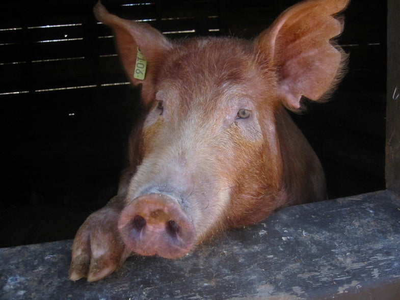Enviropig, the Genetically Engineered Eco-Friendly Pork, Is Off the Table