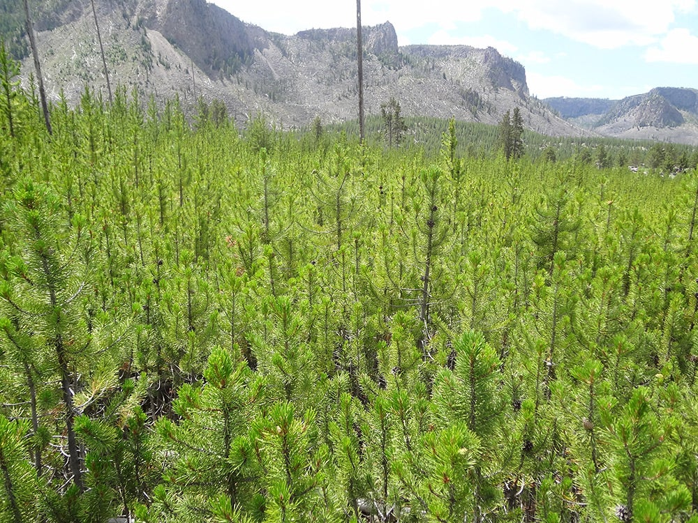 young lodgepole pine forests