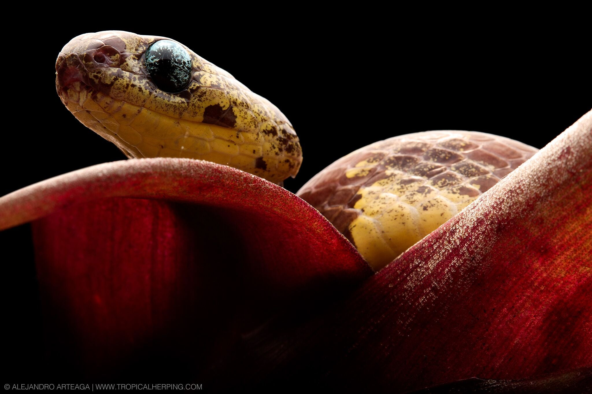 These snakes slurp snails, and that's great for farmers