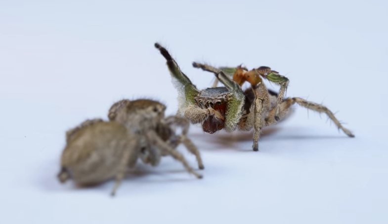 """""""Jumping-spiders"""""""
