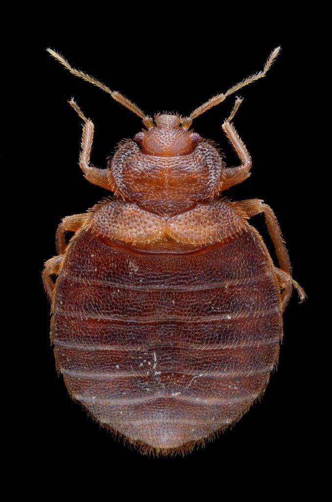 adult female bed bug