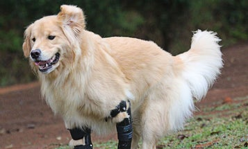 Q&A With An Animal Prosthetist