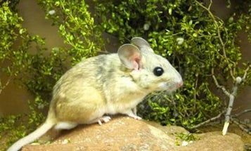 Eating Poo Helps Packrats Digest Toxic Plants