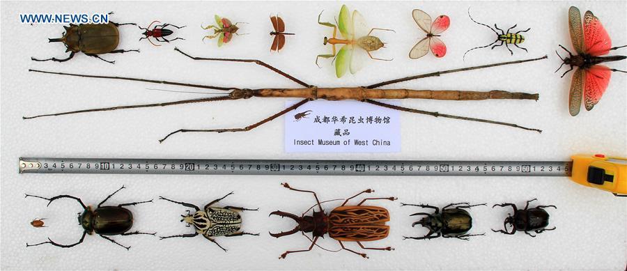 Phryganistria chinensis Zhao