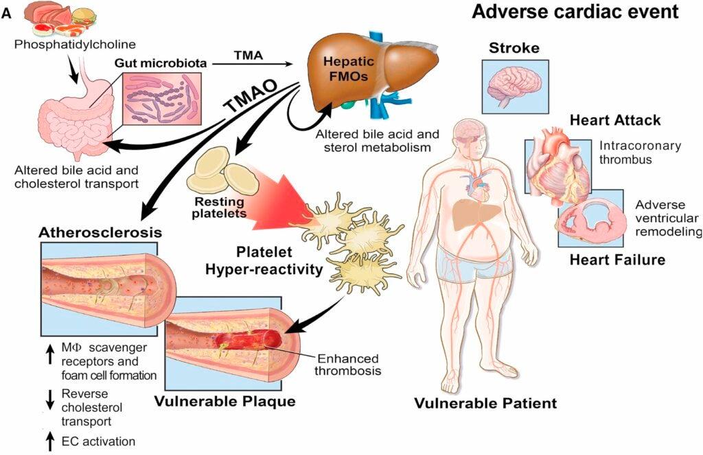 tmao effect on heart health