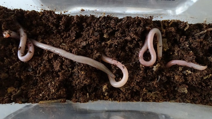 Earth worms wriggling in Martian simulation soil.
