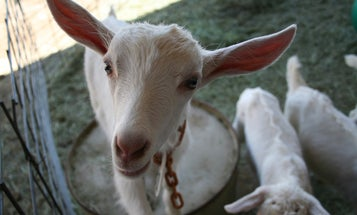 How Modified Worms and Goats Can Mass-Produce Nature's Toughest Fiber