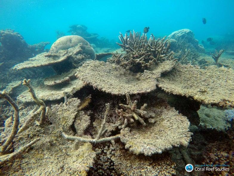 Dead Table Corals