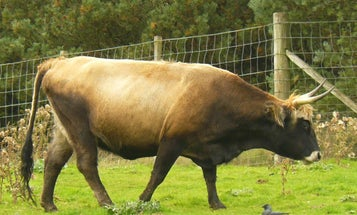 Nazi-Bred Cows Are Too Ferocious To Farm