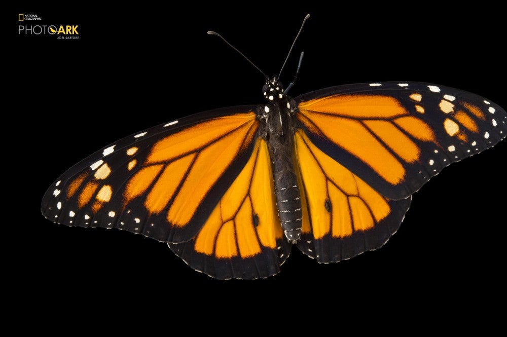A monarch butterfly at the National Botanical Garden in Santo Domingo, Dominican Republic