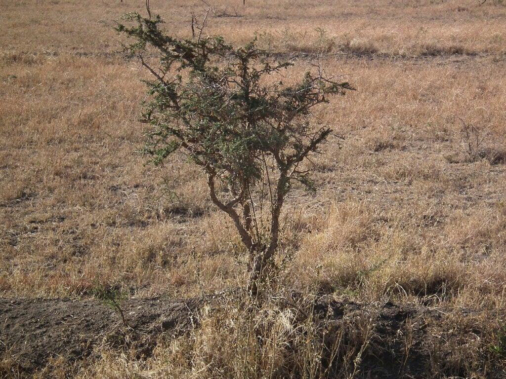 tree on savannah