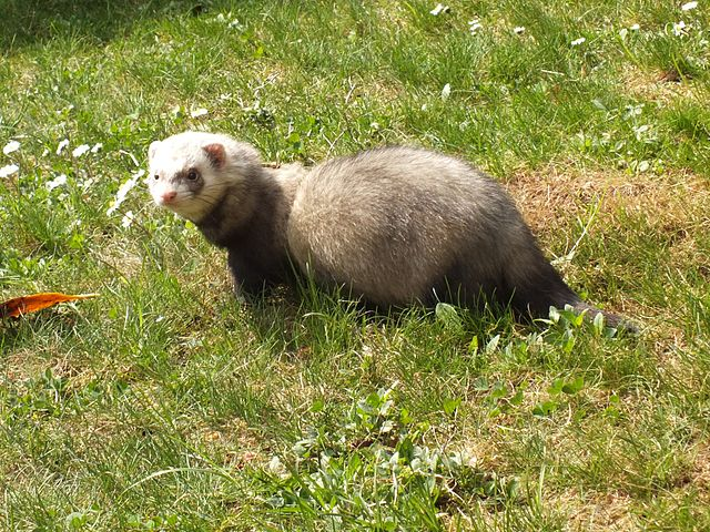 Mysterious Ferret Thefts Roil Southern England
