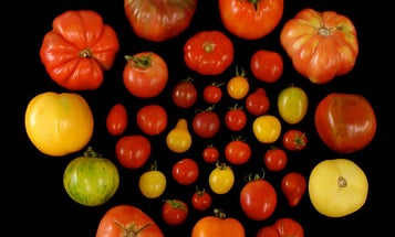 Scientists finally figured out how to make tomatoes taste good again