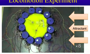 Video: Slime Mold Inspires Autonomous Brainless Undulating Robot