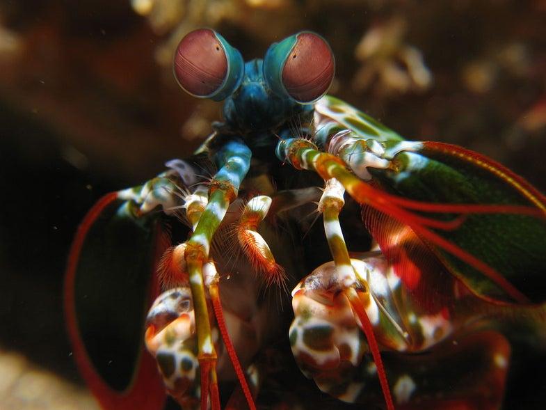 Macro view of a Mantis Shrimp.