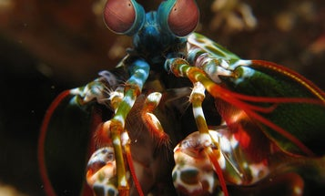 Mantis Shrimp See Best When They're Throwing Shady Eye-Rolls